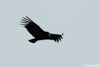 Condor in search of meal