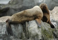 Sea lions in love