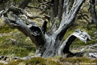 A typical dead tree in the mountain region of Patagonia