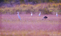 Herons and Ibis in the meadows around Atherton, QLD