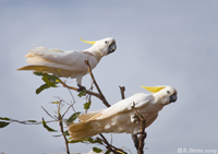White cockatoos