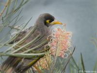 Noisy Miner bird of North QLD
