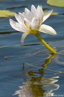 Water Lily in the Lake Tinaroo