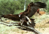 Wedge tail eagle is a common predator in the desert