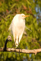 White Heron - a familiar sight in Palm Cove, QLD