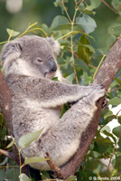 Koala in DreamWorld, Queensland