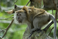 Long-tailed macaque at Monkey Beach in Penang