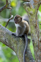 Long-tailed baby macaque at Monkey Beach in Penang